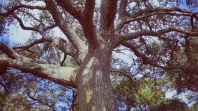 Большое разветвляя дерево в flyby парка видеоматериал