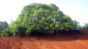 Большое расширенное дерево рядом с пруда в деревне Стоковые Фотографии RF