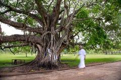 Большое святое дерево Bodhi в парке в Шри-Ланке стоковое изображение rf