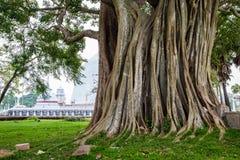 Большое святое дерево Bodhi с stupa на заднем плане в Шри-Ланке стоковые фотографии rf