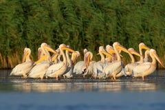 Большое стадо белые пеликаны отдыхает на воде стоковое изображение