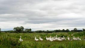 Большое стадо белых отечественных гусынь построить точно одного руководителя в деревне вдоль следа на зеленом поле под бурным Стоковая Фотография RF