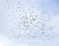 Большое стадо черных птиц, грачонк объезжая высоко в голубом небе стоковое изображение