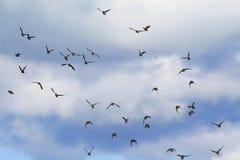 Большое стадо черных птиц проникая мухы starlings на голубом s стоковые изображения rf