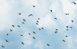 Большое стадо черных птиц проникая мухы starlings на голубом sk стоковые фотографии rf