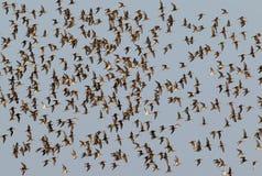 Большое стадо dunlins в полете Стоковые Изображения RF
