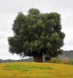 большое старое оливковое дерево Стоковое фото RF
