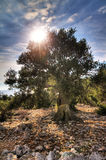 Большое старое оливковое дерево Стоковая Фотография