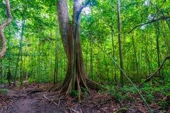 Большое старое тропическое дерево в живописном лесе в Krabi, тайском стоковая фотография rf
