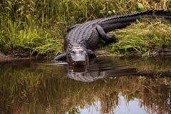 Большое угрожающее mississippiensis аллигатора американского аллигатора Стоковое Изображение