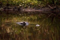 Большое угрожающее mississippiensis аллигатора американского аллигатора Стоковые Фото
