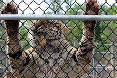 Большое удерживание тигра на приложение металла во время времени кормления на зоопарке стоковые фотографии rf