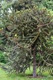 Большое уникально дерево с шиповатыми ветвями Стоковые Фото