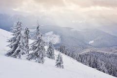 Большое фото зимы в прикарпатских горах с снегом покрыло ели Красочная внешняя сцена, счастливый Новый Год Стоковые Изображения RF