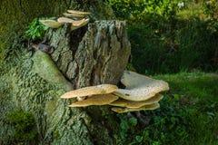 Большое dryadeus Inonotus грибка кронштейна Стоковые Изображения