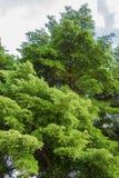 Большое ivorensis Terminalia стоковая фотография rf