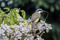 Большое Kiskadee на фото детали ветви симпатичном - sulphuratus Pitangus строя свое гнездо стоковое фото