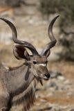 большое kudu Стоковые Фото