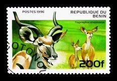 Большое Kudu (strepsiceros) Tragelaphus, serie копытных животных, около Стоковое Изображение RF