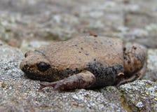 большое narrowmouth упрощает жабу Стоковые Фото