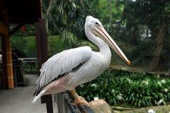 Большое onocrotalus Pelecanus белого пеликана также известное как восточный белый пеликан Стоковое Изображение RF