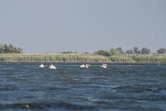 Большое onocrotalus pelecanus белых пеликанов летая над Дэн стоковое изображение