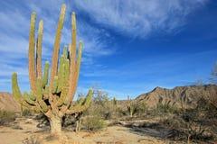 Большое pringlei на ландшафте пустыни, Нижняя Калифорния Sur кактуса Cardon слона или Pachycereus кактуса, Мексика стоковые фото