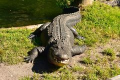 Большой аллигатор на зеленой траве на крае лагуны на области Tampa Bay стоковое фото