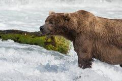 Большой аляскский бурый медведь Стоковое Фото