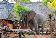 Большой африканский слон ища сезонный плодоовощ манго в лагере сафари, южном национальном парке Luangwa, Замбии Стоковая Фотография