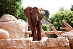Большой африканский слон на зоопарке Стоковые Изображения