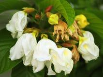Большой белый букет цветка silverbell Каролины дерева в мае Стоковая Фотография RF