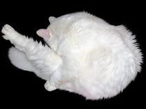 Большой белый кот Стоковое Изображение