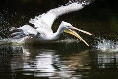 Большой белый пеликан также известный как восточный белый пеликан Стоковое Изображение