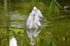 Большой белый пеликан Стоковое Изображение RF