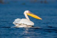 Большой белый пеликан стоковое фото rf