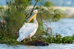 Большой белый пеликан стоковое изображение