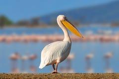 Большой белый пеликан стоковые изображения rf