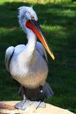 Большой белый пеликан Стоковые Изображения