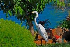 Большой белый Egret в Cypress, TX стоковая фотография rf