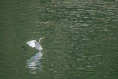 Большой белый egret летает грациозно над озером Стоковое Изображение RF