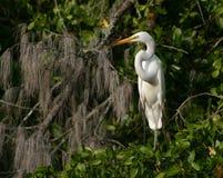 Большой белый Egret на дереве баньяна Стоковая Фотография