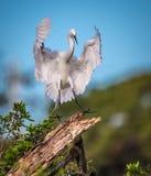 Большой белый egret приходя внутри для приземляться Стоковые Фото