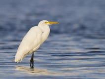 Большой белый Egret Стоковое фото RF