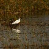 Большой белый Egret feeing в мелководье стоковое фото