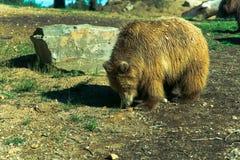 Большой бурый медведь - животный, живущий организм, млекопитающие стоковые изображения rf