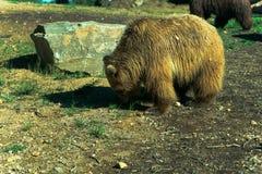 Большой бурый медведь - животный, живущий организм, млекопитающие стоковые фото