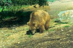 Большой бурый медведь - животный, живущий организм, млекопитающие стоковое фото