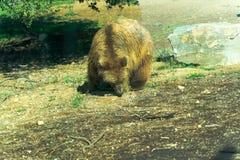 Большой бурый медведь - животный, живущий организм, млекопитающие стоковое изображение rf