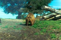 Большой бурый медведь - животный, живущий организм, млекопитающие стоковые изображения